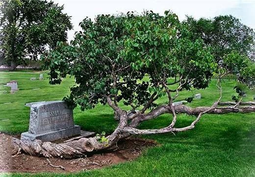Дерево на месте захоронения